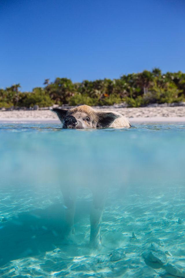 Swimming Pig Island, The Bahamas